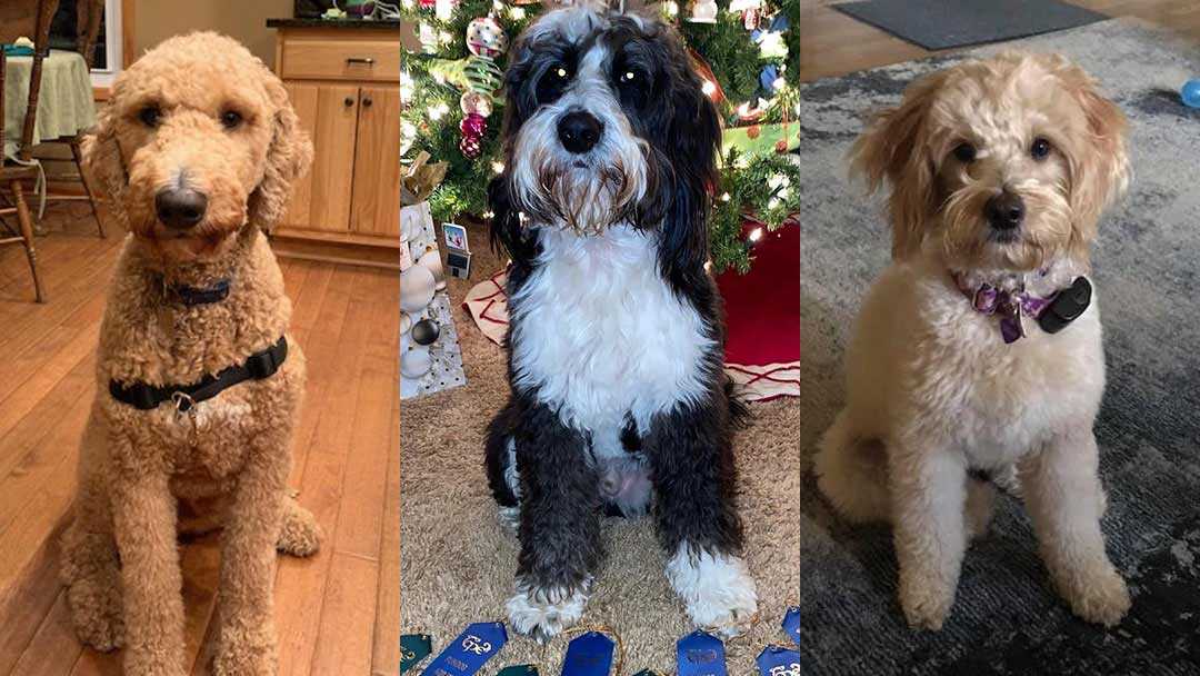 """Picture of three, certified, """"therapy dogs'; """"Cooper"""" a blond Labra-doodle, """"Dexter"""" a Sheepdog mix and 'Dallas"""" another Labradoodle mix."""
