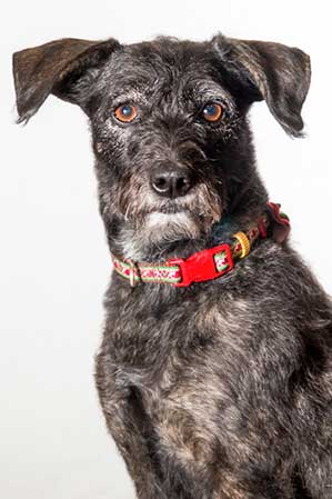 "Picture of 30 pound Schnauzer mix dog 'Gracie"", a Certified Therapy Pet working with Barrington Behavioral Health and Wellness. Contact us by email: help@barringtonbhw.com or 888-261-2178"